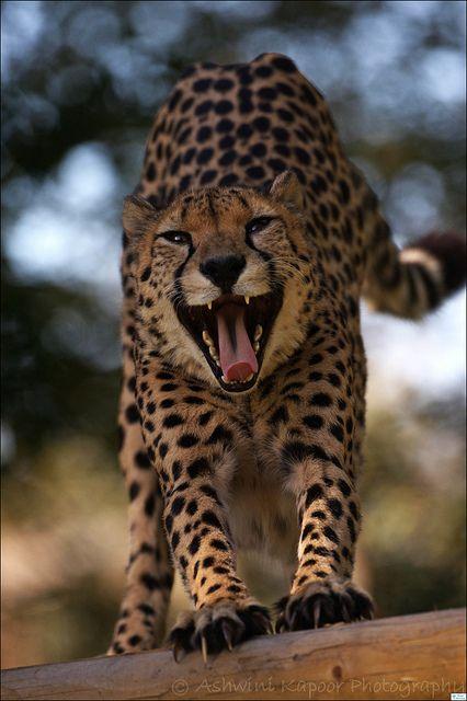Cheetah at Marvel Wildlife Park (Winchester) by AshKapoorPhotography, via Flickr