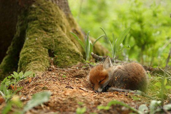 baby fox! :)