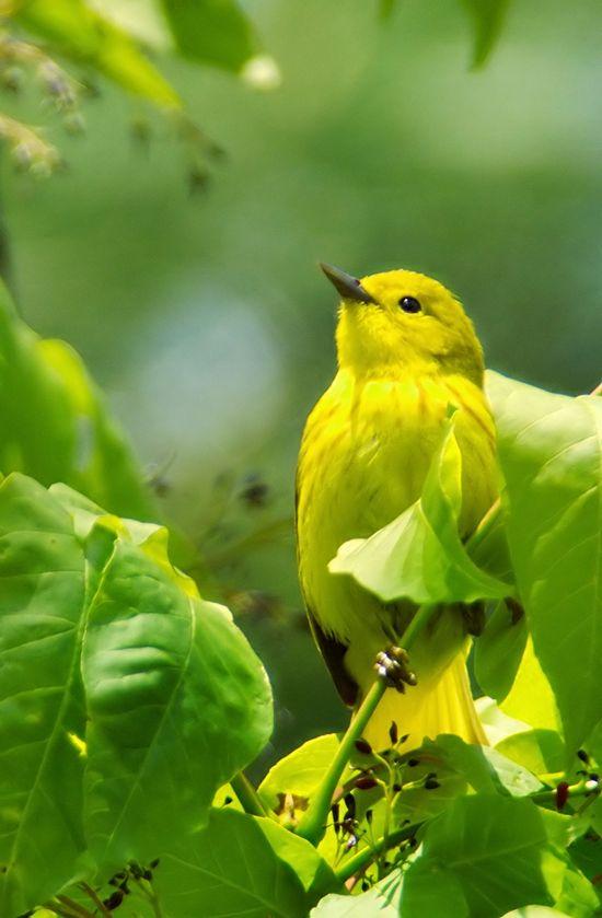 sweet yellow warbler - ontario, canada
