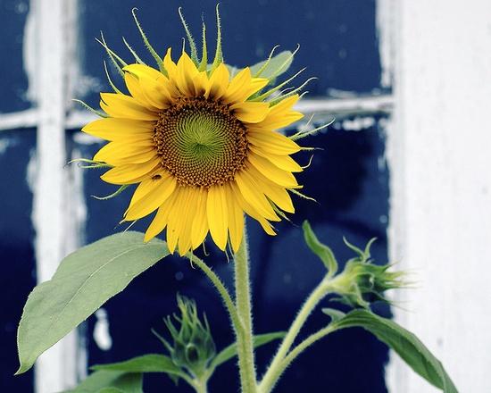 more sunflower love