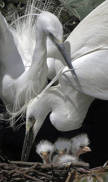 Egret family mom,dad,and babies.