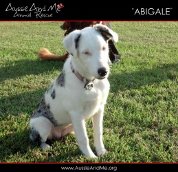 FLORIDA ~ meet Abigale ~ an #adoptable #BlueMerle #Catahoula #AustralianShepherd #dog in #Nokomis. More information coming soon....  If you are interested in adopting an amimal for Aussie And Me, the first step is to go to www.AussieAndMe.org and fill out the adoption application. Someone will then review your app an return your call. Visit our dogs rescue journeys on Facebook at www.facebook.com/...