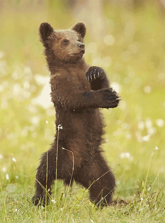 "Grizzly Gangnam Style: Baby Bear Pictured Doing 'Gangnam Style' Dance (PHOTOS) - ""In June, photographer Mark Sisson captured this guy on film in Finland just as he broke out into Korean singer Psy's trademark move."" - Huffington Post"