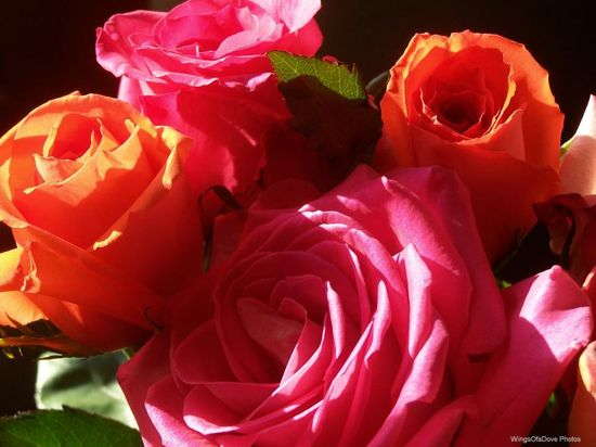Bright Colorful Roses - Pixdaus