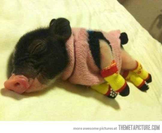 A tiny pig wearing a sweater and legwarmers…