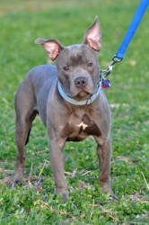 Rex is an adoptable Pit Bull Terrier Dog in Powell, OH. Rex is a very happy and laid back little boy. He is about 1 year old (40lbs), and has the best temperament. He is very playful and super social ...