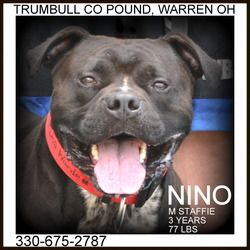 Nino IN FOSTER TO ADOPT is an adoptable American Staffordshire Terrier Dog in Warren, OH. Nino was left here by his family, who could no longer keep him.  According to his family, his is great with ch...