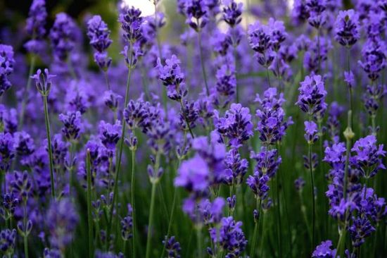 purple flowers #MissKL and #SpringtimeinParis