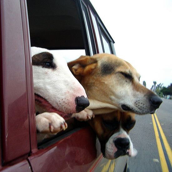Three Dog Road Trip ~ how can you not love dogs