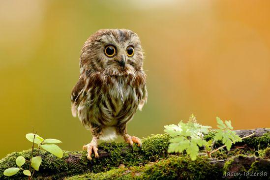 Miniature Northern Saw-Whet Owl
