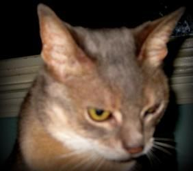 Nikki is an adoptable Abyssinian Cat in Alpharetta, GA. Nikki's owner passed away and she came to one of our foster homes through his children. She is a beautiful blue Abyssinian approximately 9 years...