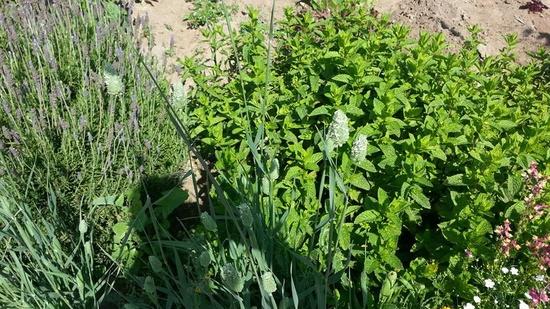 plantas-aromaticas-en-los-huertos
