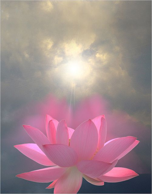 Pink Lotus Flower - Reaching for the sun