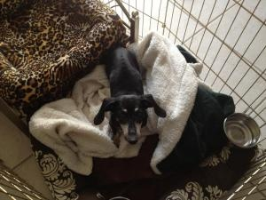 Gidget is an #adoptable #senior Dachshund Dog in #Henderson, #NEVADA. Darling Gidget is a 10-pound, 14 year-old bundle of sweetness and grace! She entered our life through the animal shelter after she was found wan...
