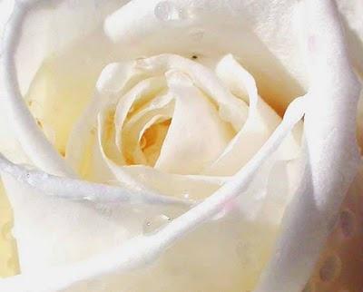 white buttercream colored rose