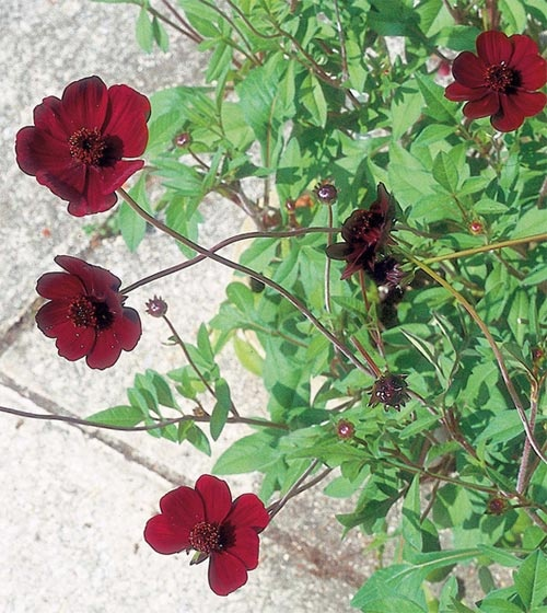 Flower of the Day: Chocolate Cosmos