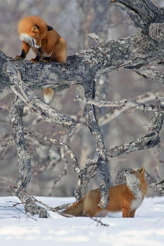 Red foxes.  Found you!