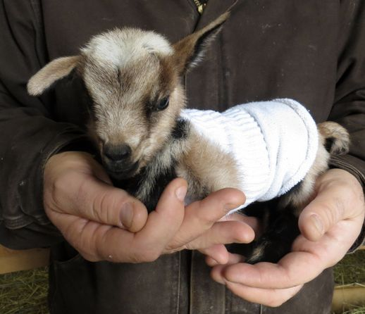 {baby goat in a sock sweater}