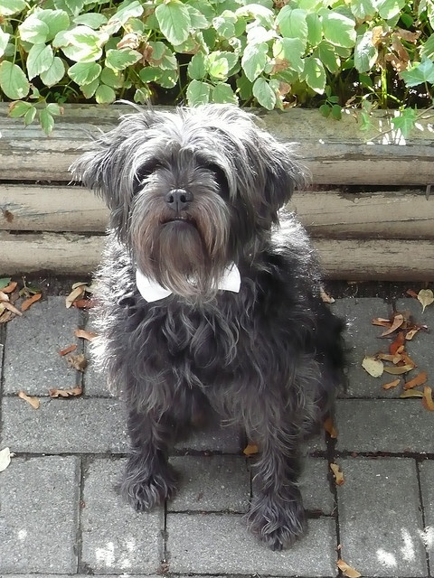 Affenpinscher, from Germany and France #dog #animal #affenpinscher