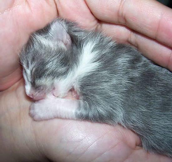 Newborn kitten sucking her thumb
