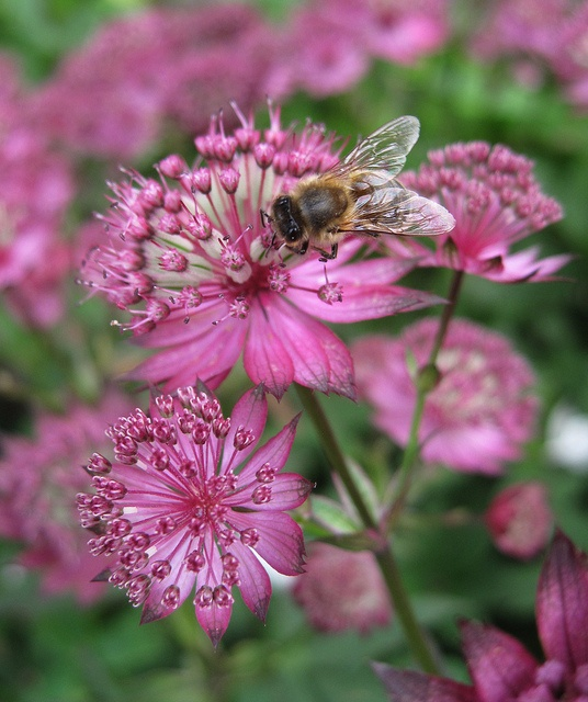Astrantia Major - Master Wort