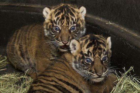 Sumatran tiger cubs by Official San Diego Zoo, via Flickr
