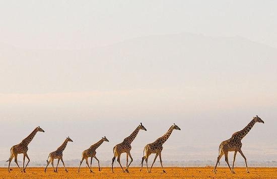 A Tower of Giraffes by Greg du Toit