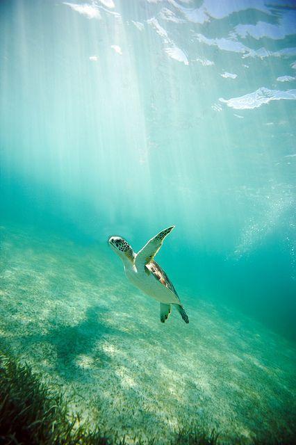 Baby Honu (sea turtle)