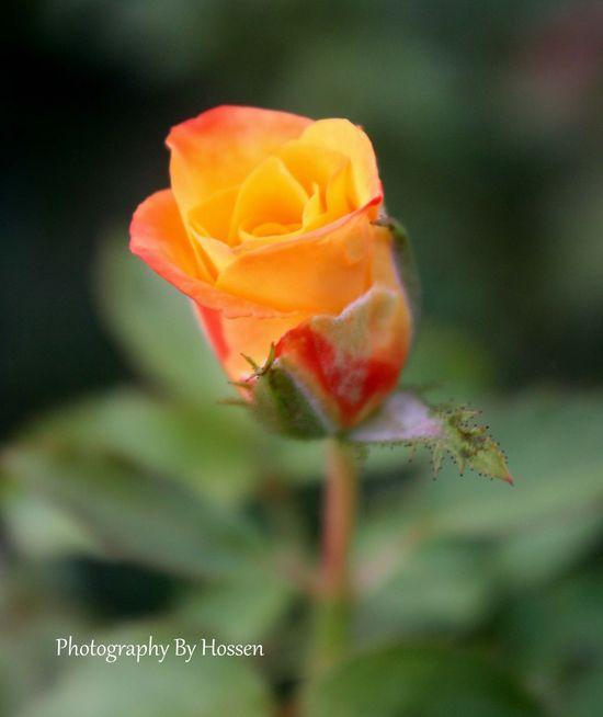 Orange Color Rose