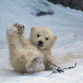 Polar bear cub.