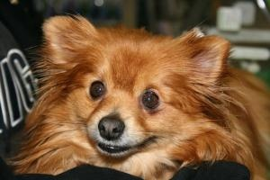 Dolly is an adoptable Pomeranian Dog in Centreville, MI. This is Dolly.? She is a 6 year old pomeranian and a lovable chunky monkey at 13 lbs.? ? ? ? When she first came to?her foster mom she was ve...