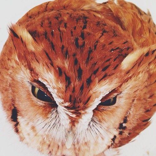 baby owl - baby animals