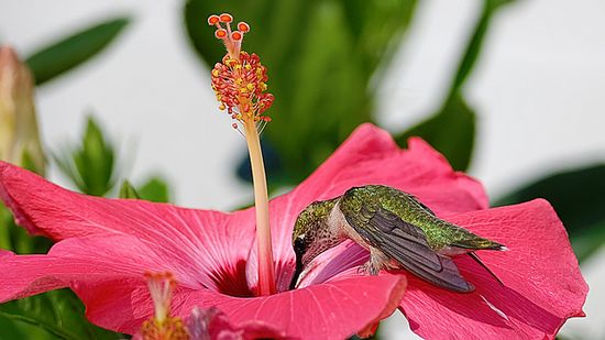 Ruby Throated hummingbird drinking from a hibiscus flower