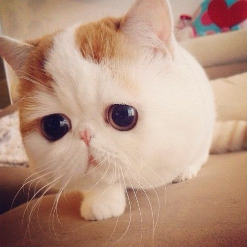 if i EVER get a cat, this is the cat i would get! so freakin adorable!!