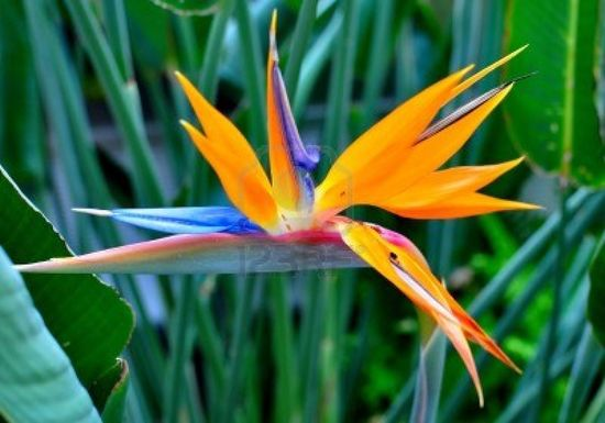 bird of paradise flower-so cool!