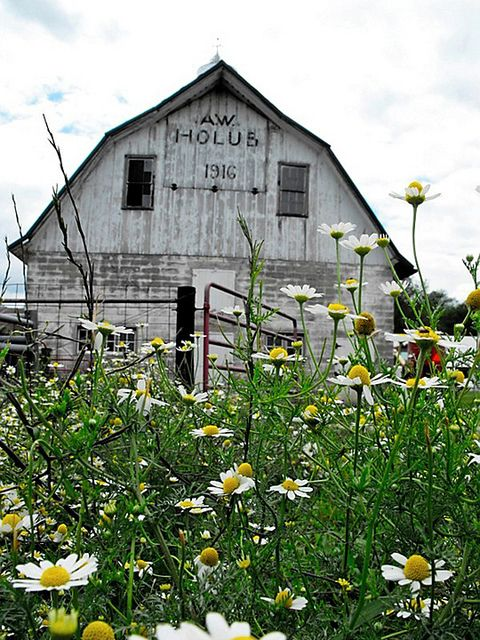 Field Of Daisies By Old Barn