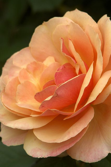 Peach Rose!