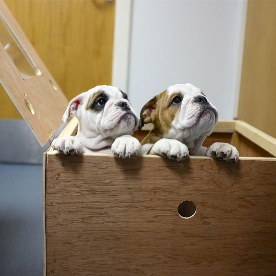 """English Bulldogs ~ """"Are you the one who will love us forever?"""""""