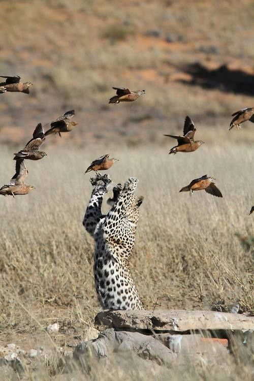 ? Wild life photography masculine animal leopard with birds