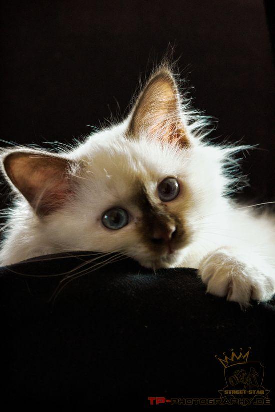 Heilige Birma Kitten  Nice pet photo. Good lighting and contrast.
