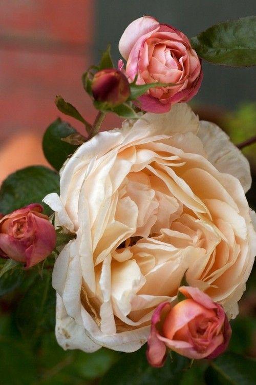 Lovely Heirloom roses