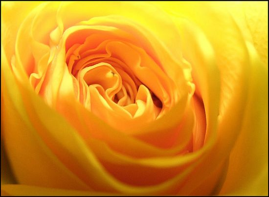my favorite color rose