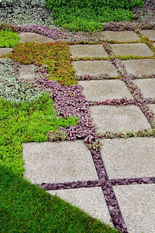Sedum succulent plants between stone stepping stones in garden path, with lawn, groundcover plants and herbs
