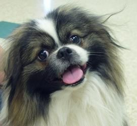 Adoptable Fridays: Meet Buttons!! Buttons is an adoptable Pekingese Dog in Hastings, NE. Find out more about Buttons! #pets #animals #dogs #fcpets #fcadoptablefridays