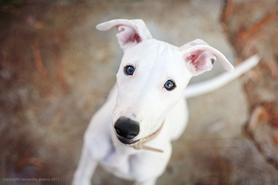 beautiful. white whippet, green eyes