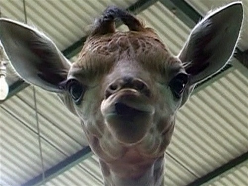 Indonesia welcomes Pemuda the baby giraffe