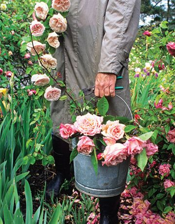 Man in trench coat and boots holding a bucket of heirloom roses in a garden