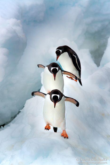Gentoo  penguins in Antarctica by David C. Schultz~~