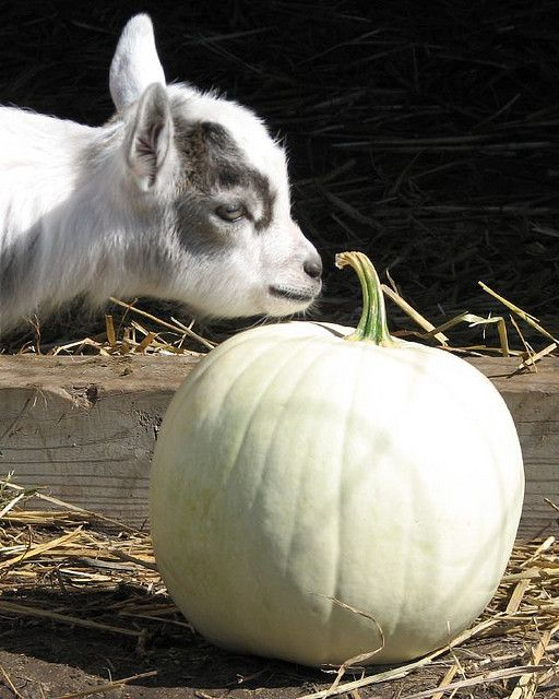 Baby goat & pumpkin!