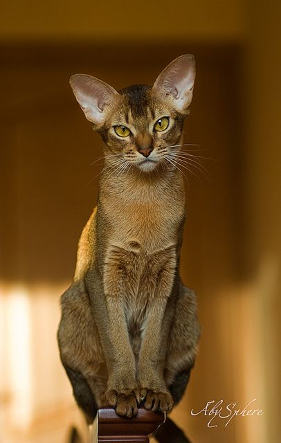 Abyssinian Cat - gorgeous